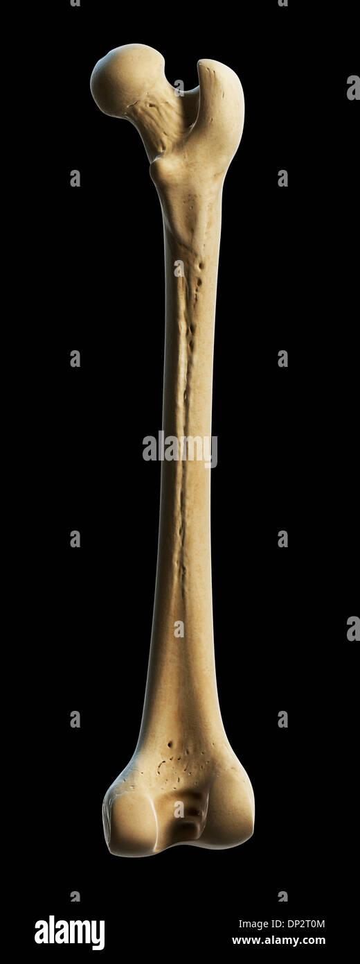 Human Femur Thigh Bone Illustration Stock Photos & Human Femur Thigh ...