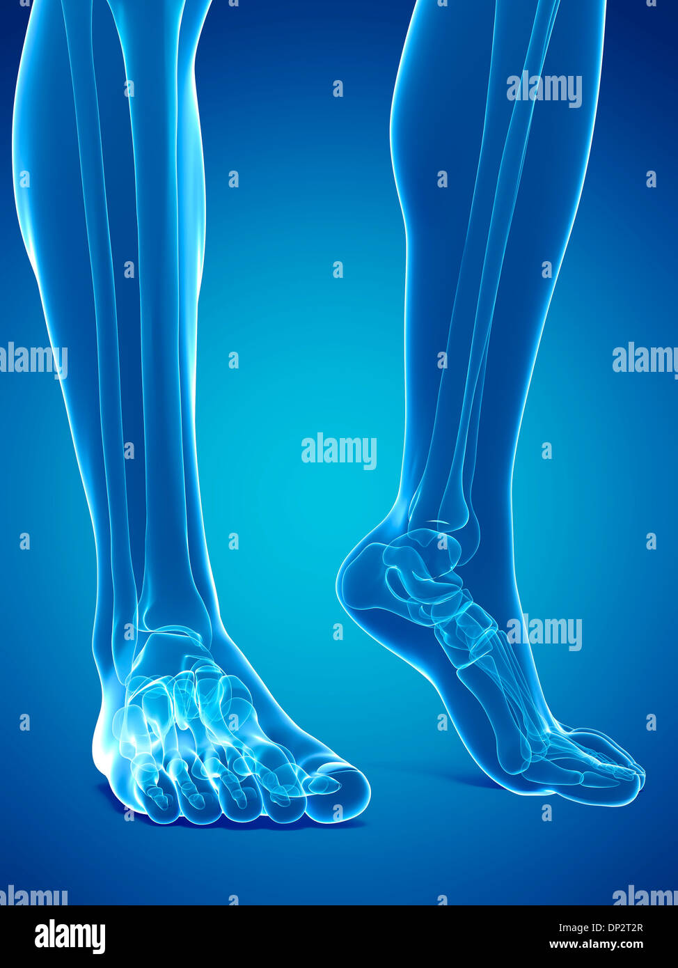 Bones of the feet, artwork Stock Photo: 65216335 - Alamy