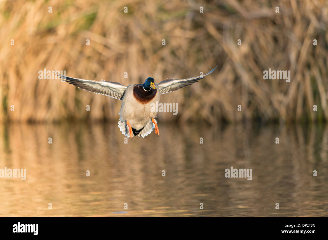 A mallard (Anas platyrhynchos) drake comes in for a landing, North Texas - Stock Image