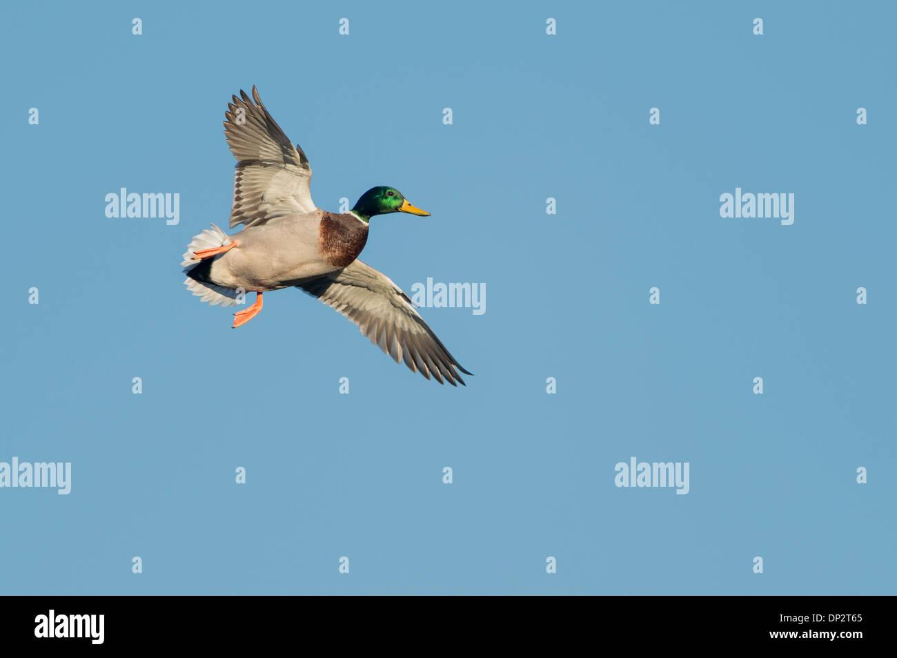 Mallard (Anas platyrhynchos) in flight, North Texas - Stock Image