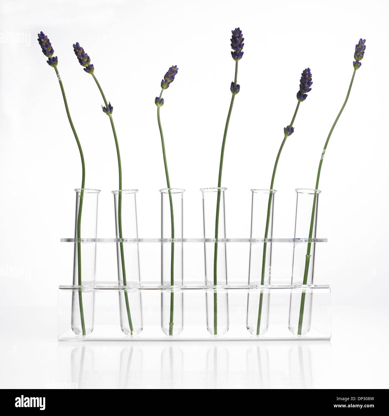 Lavender Lavandula sp stems - Stock Image