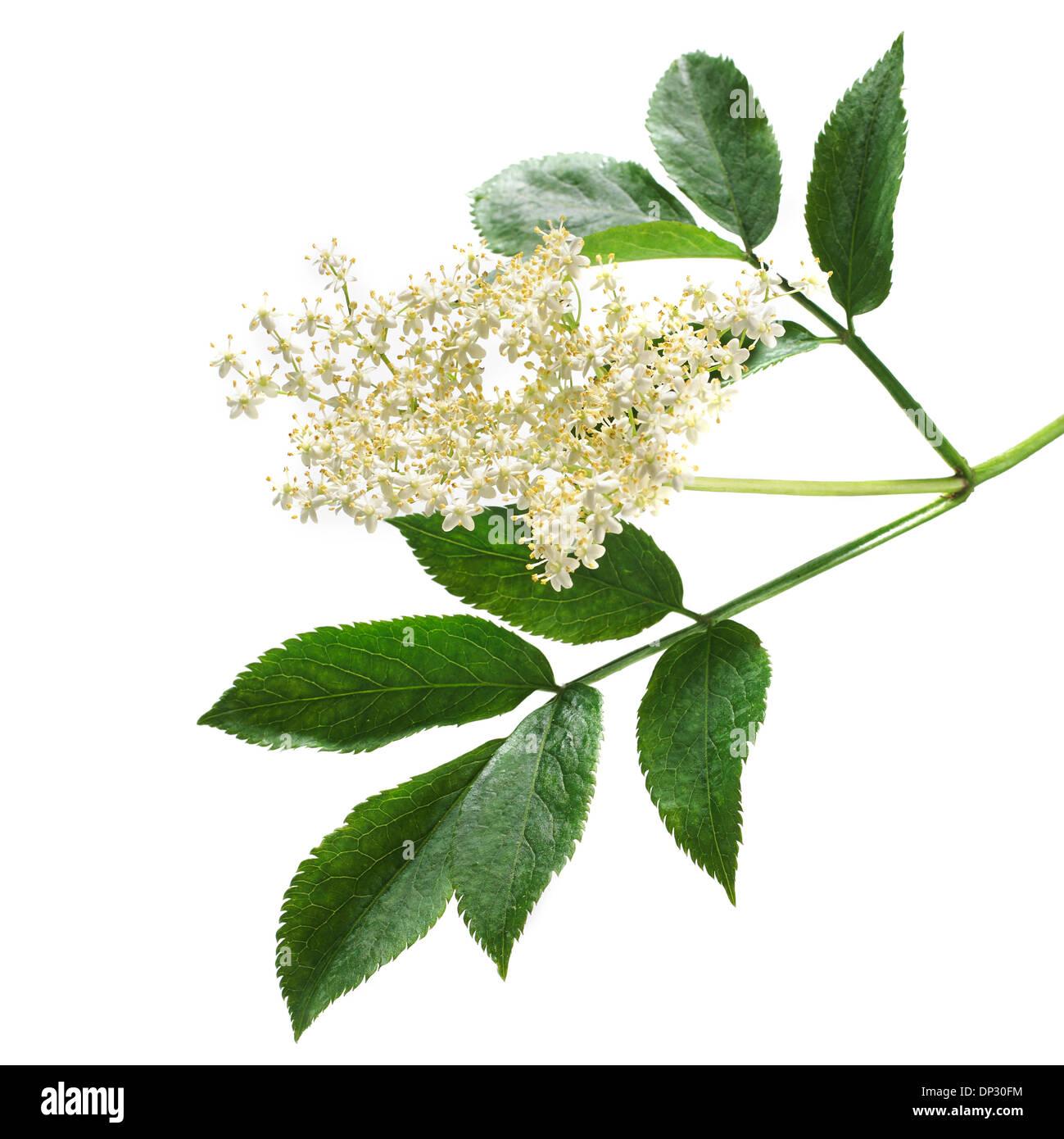 Elderflowers Sambucus nigra - Stock Image