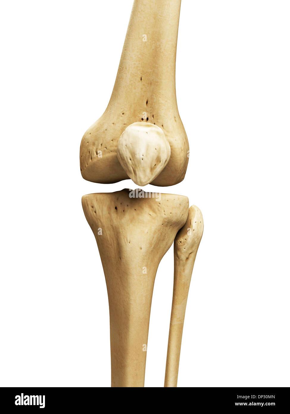Knee Bones Artwork Stock Photo 65219973 Alamy