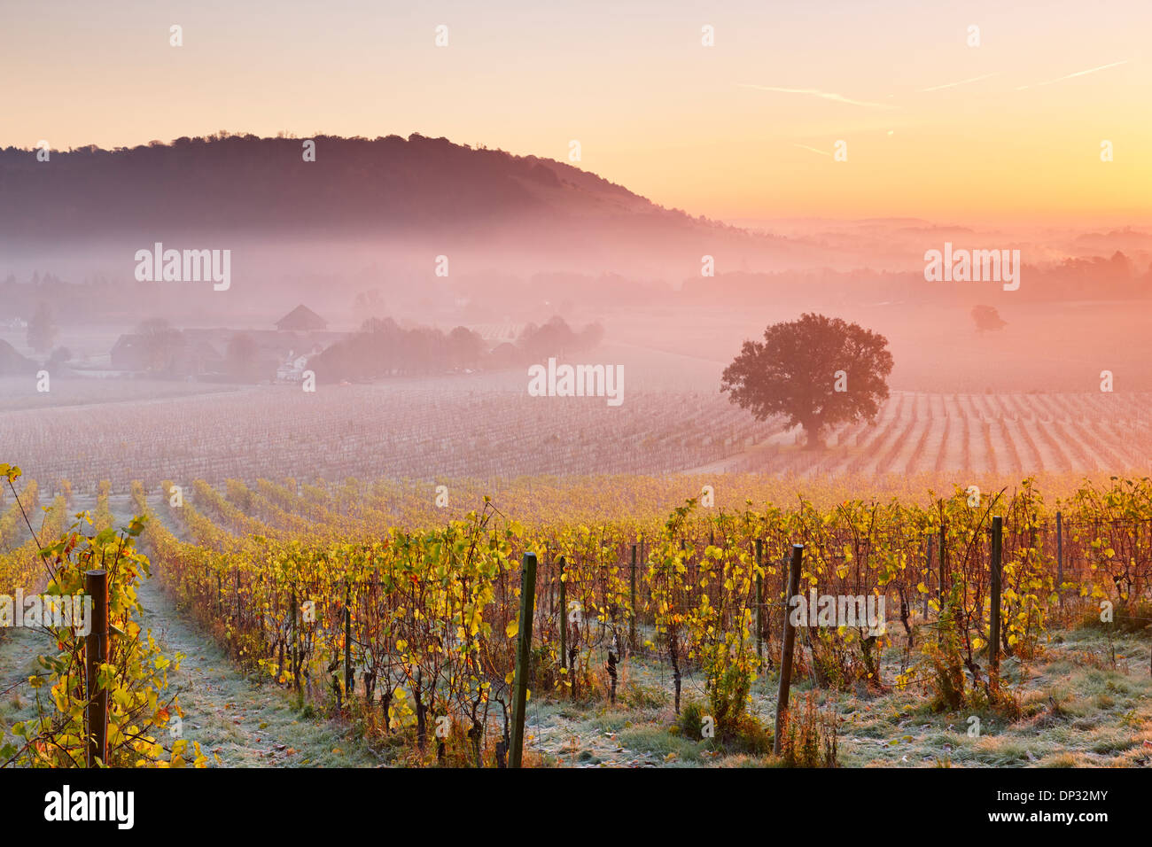 Low lying mist floating over autumn grape vines at Denbies Wine Estate - Stock Image