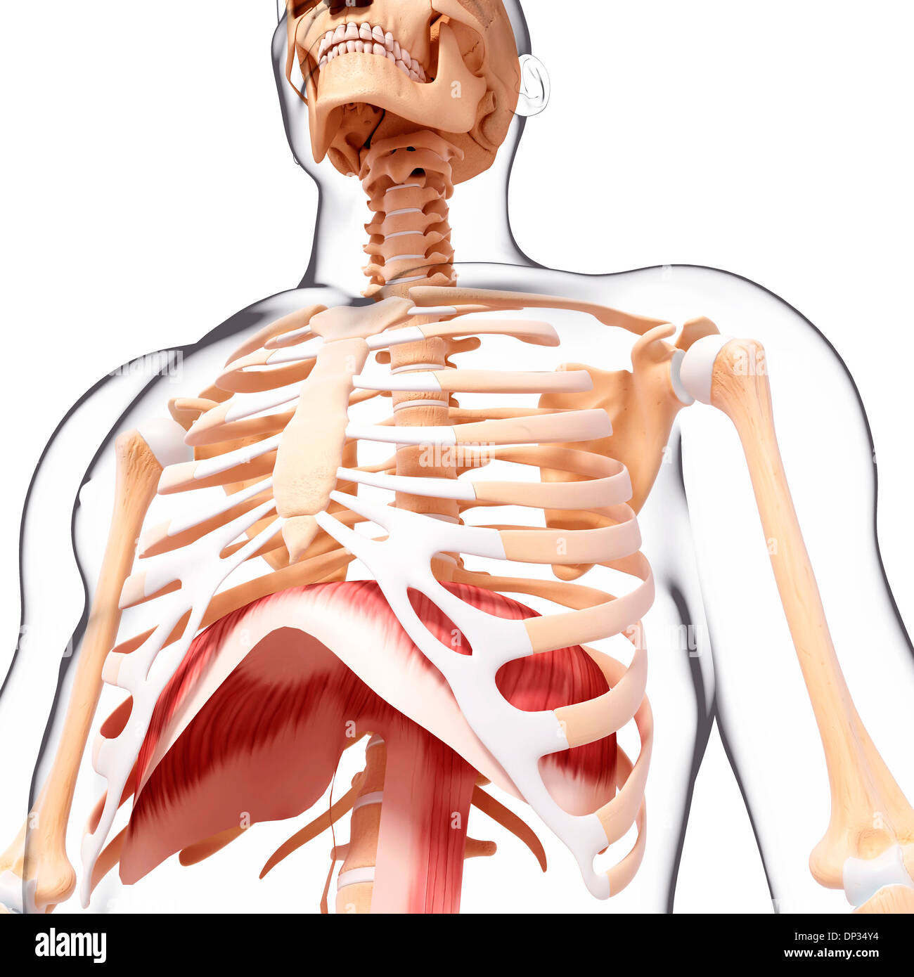 Diaphragm Chest Stock Photos Diaphragm Chest Stock Images Page 3