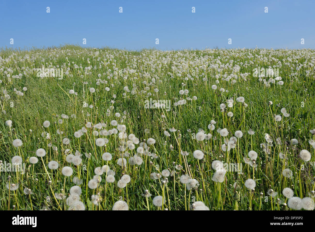 Dandelion (Taraxacum officinale) Clocks in Meadow, Switzerland Stock Photo