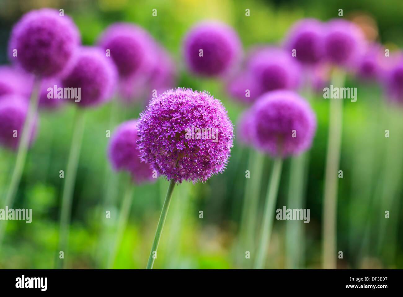 Purple Allium flowers in full bloom. - Stock Image