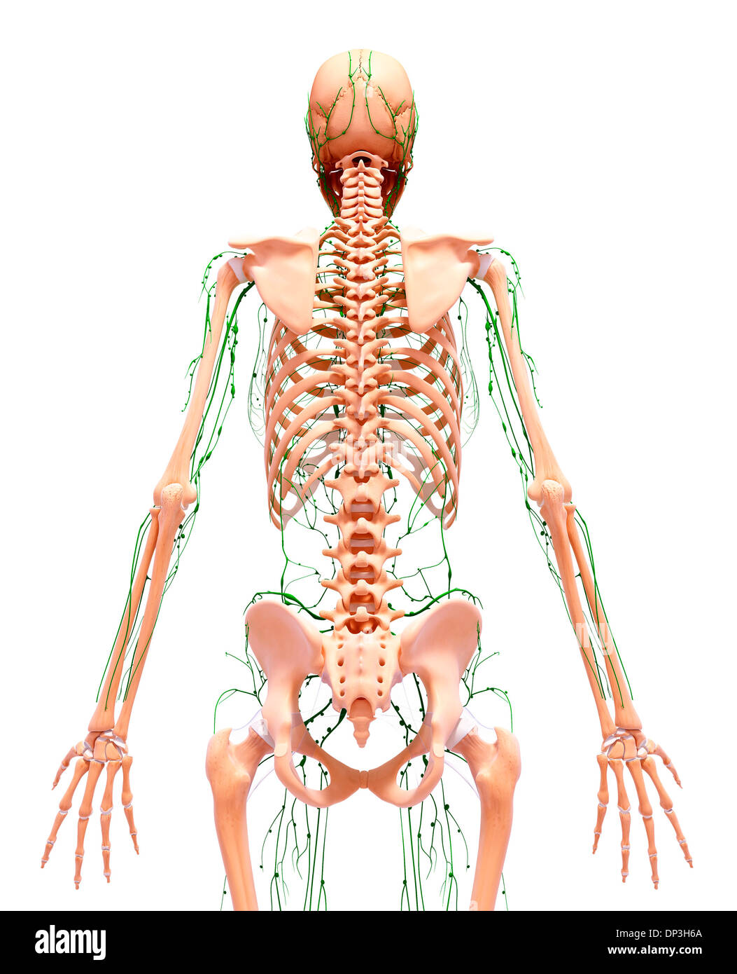 Lymphatic System Cut Out Stock Images Pictures Alamy