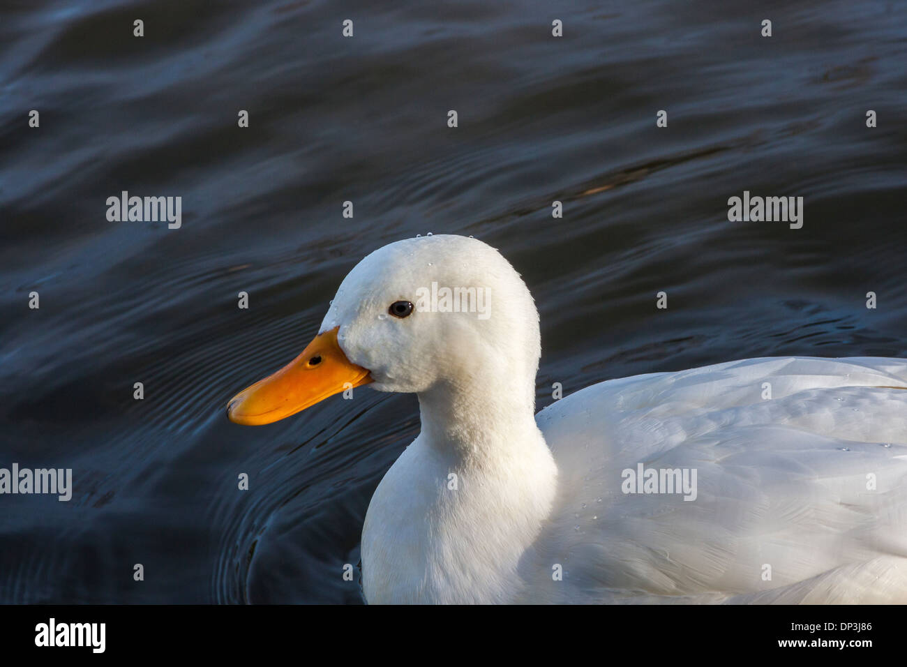 White Duck on River, close-up - Stock Image