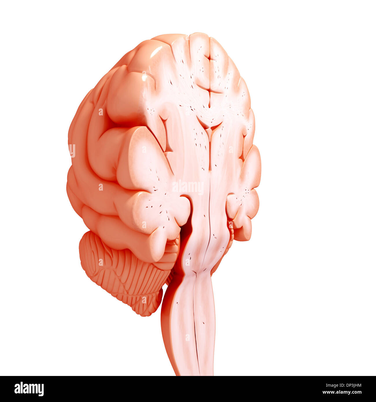 Cross Section Brain Stock Photos & Cross Section Brain Stock Images ...