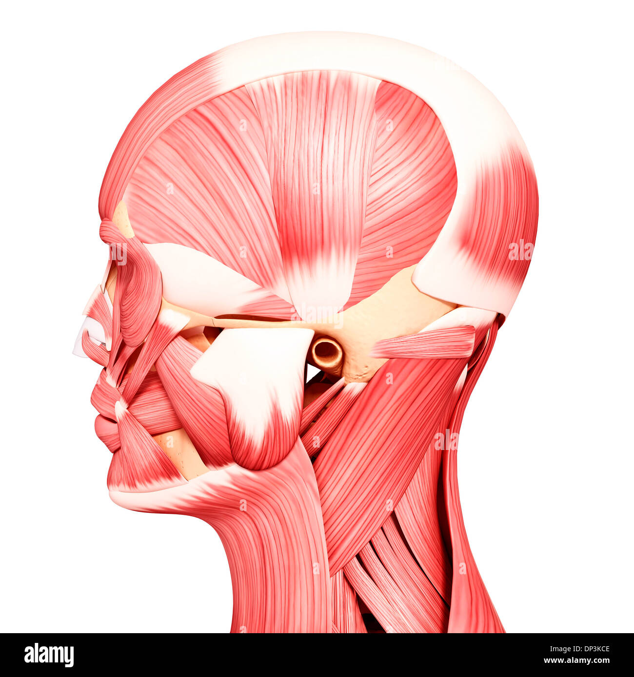 Human head musculature, artwork Stock Photo