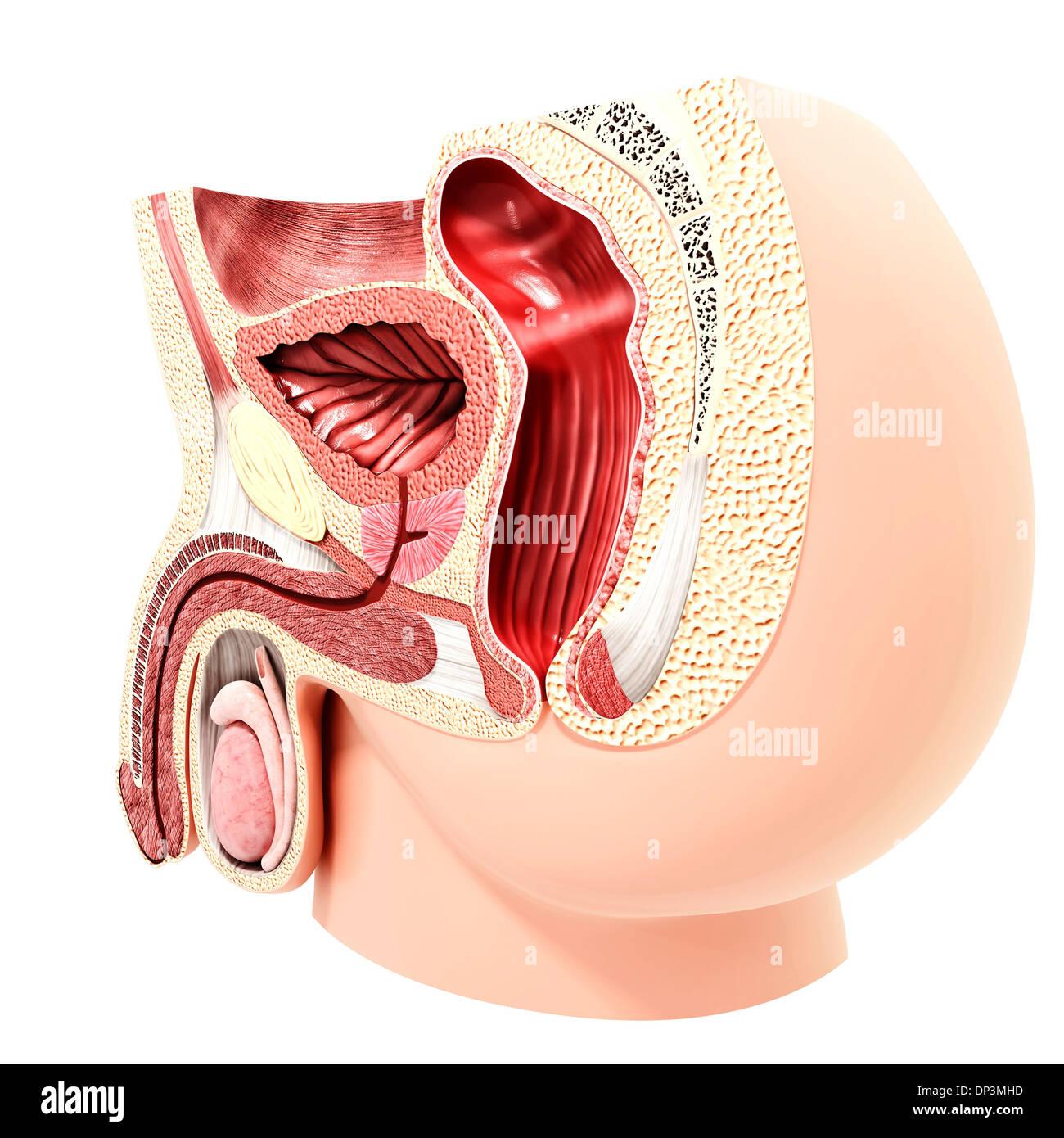 Male Urinary System Artwork Stock Photo 65235561 Alamy