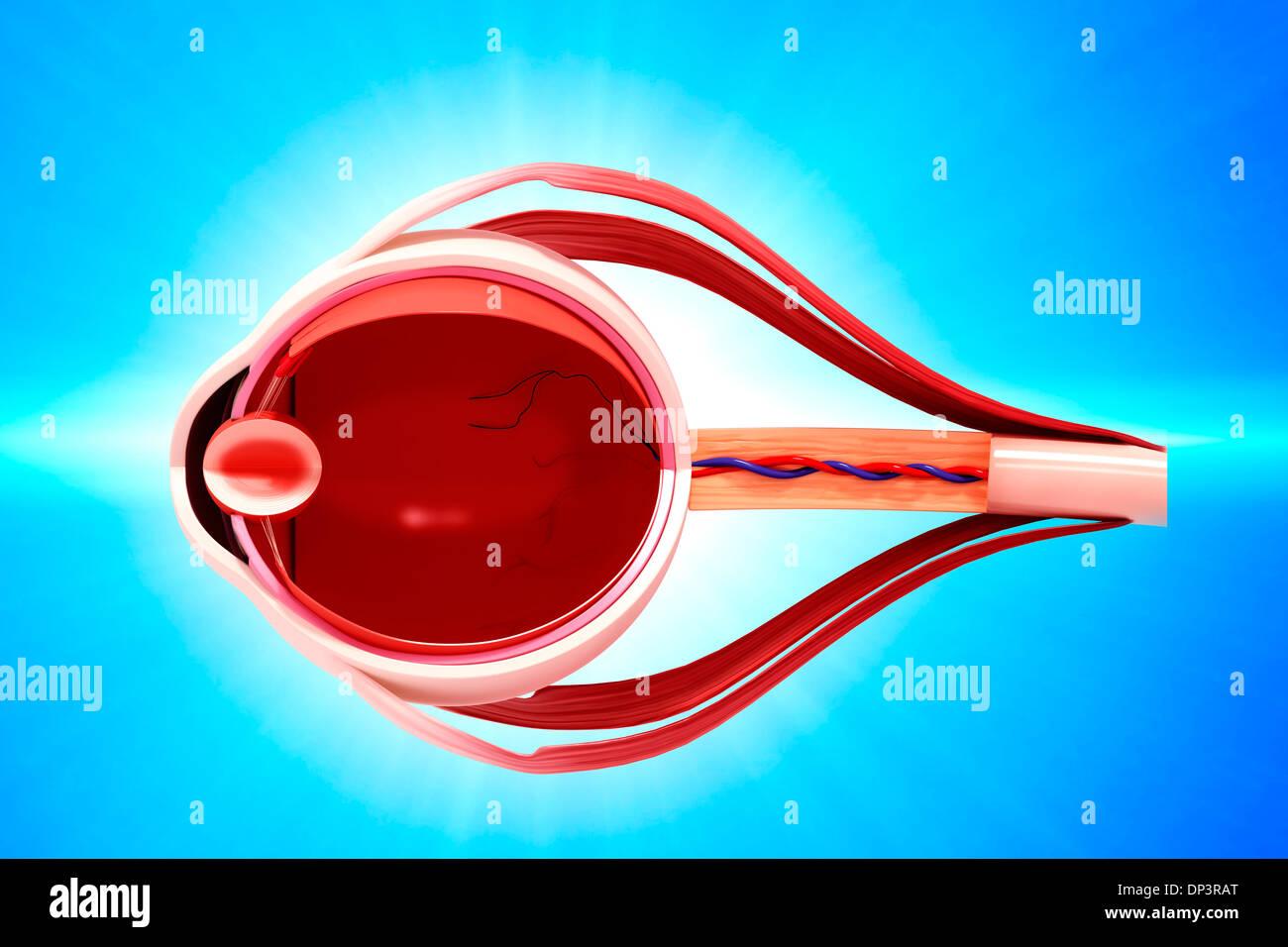 Human Eye Anatomy Stock Photos Human Eye Anatomy Stock Images