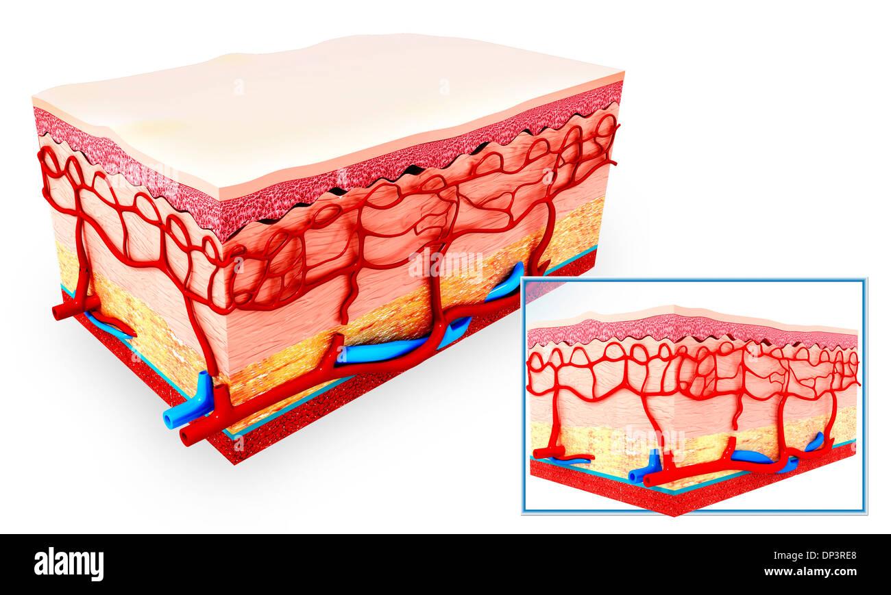 Human Skin Anatomy Cross Section Stock Photos & Human Skin Anatomy ...