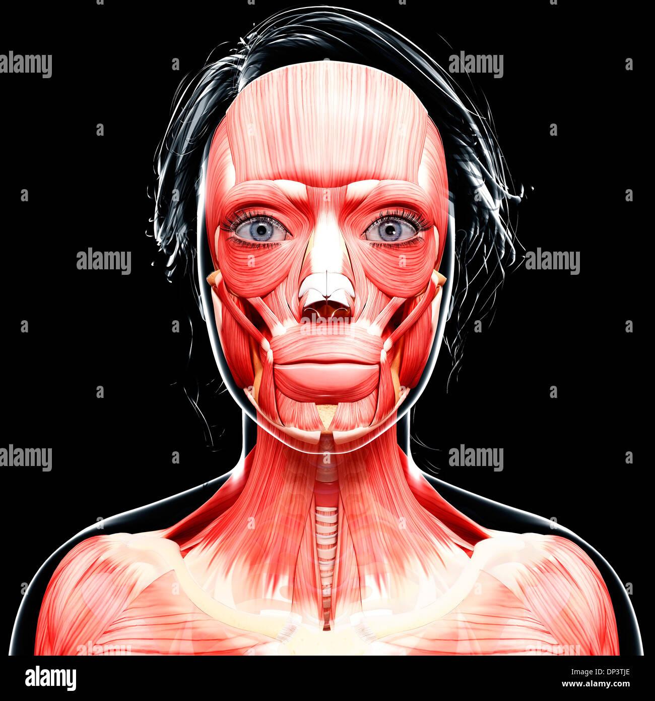 Female head musculature, artwork Stock Photo