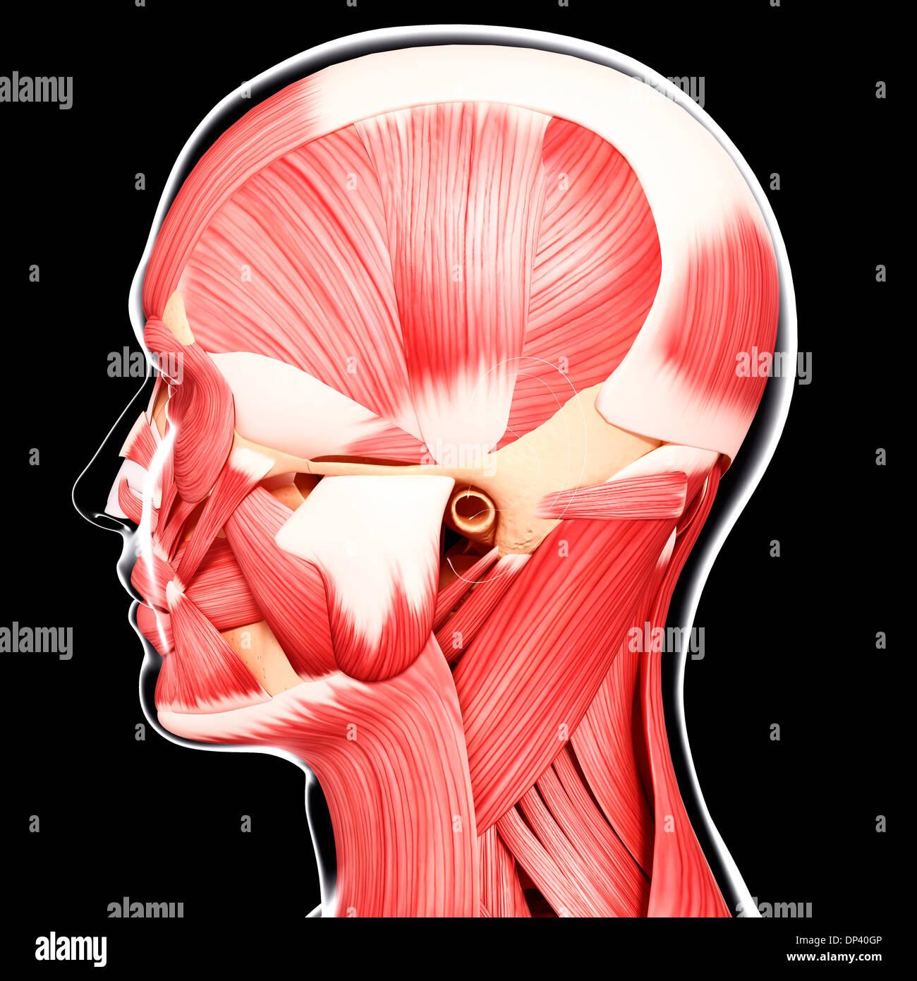 Human head musculature, artwork Stock Photo