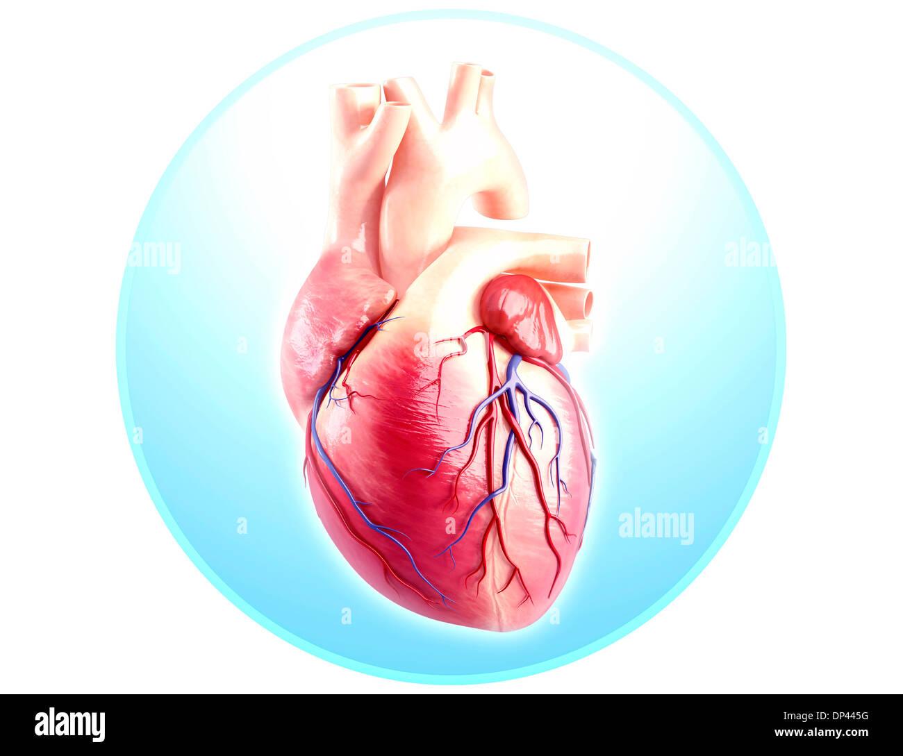 Heart Anatomy Stock Photos Heart Anatomy Stock Images Alamy