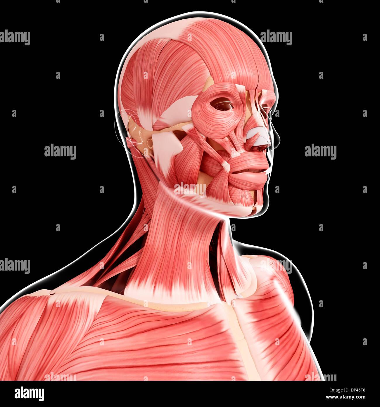 Human musculature, artwork Stock Photo