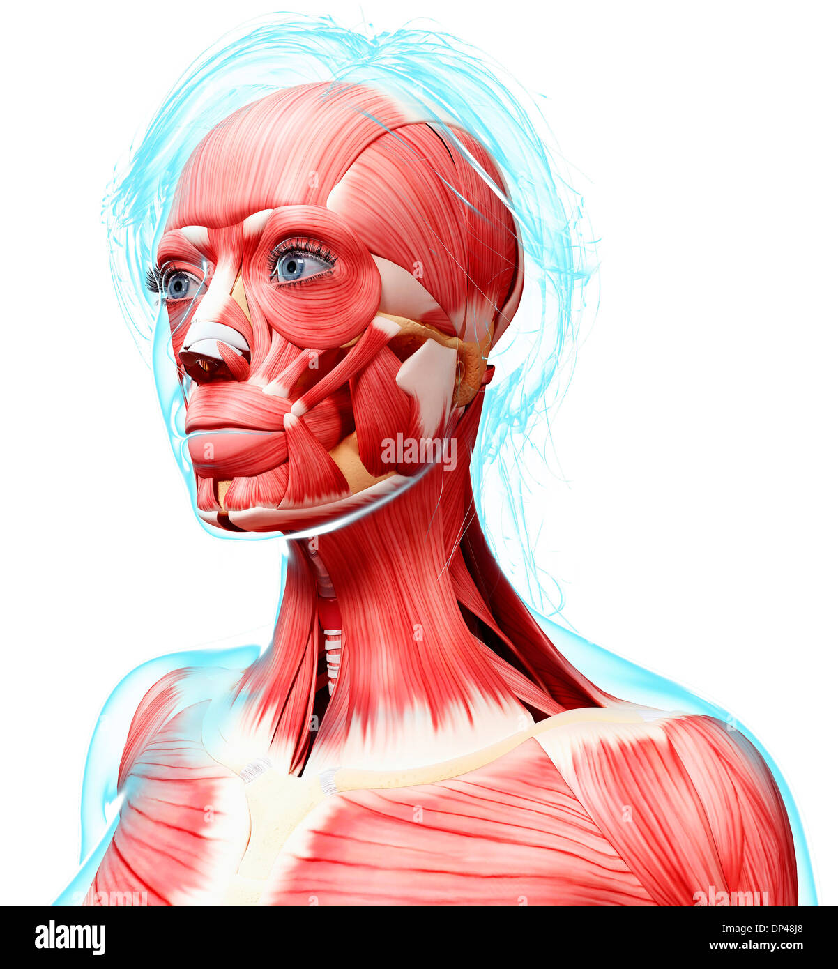 Female head musculature, artwork Stock Photo