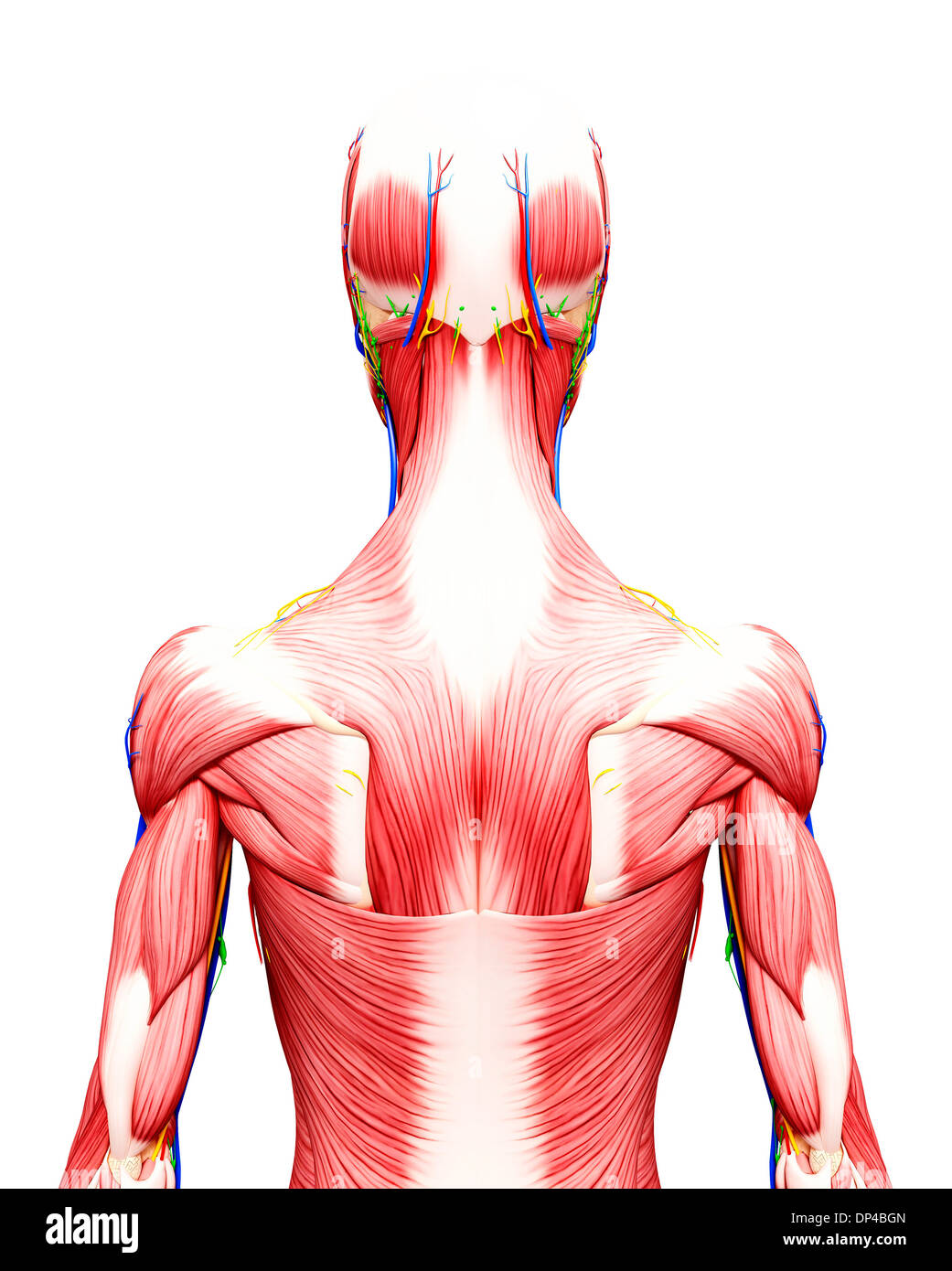 Rear Deltoid Stock Photos & Rear Deltoid Stock Images - Page 3 - Alamy