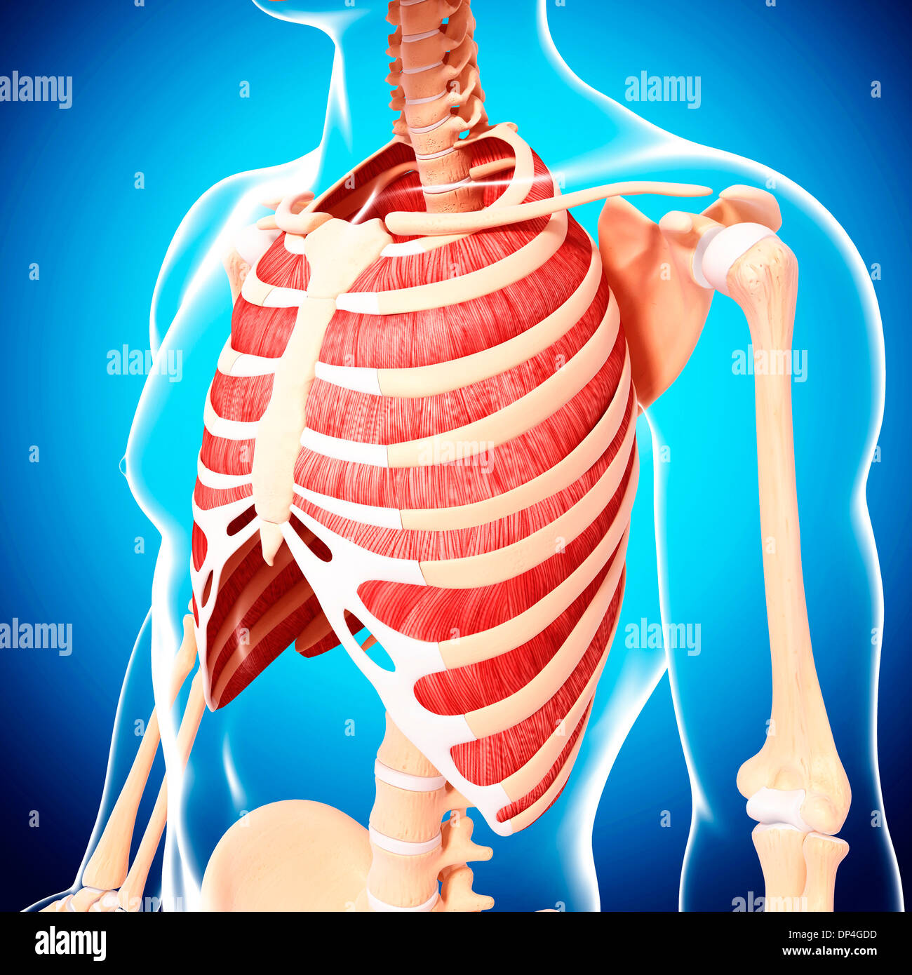 Intercostal Muscle Stock Photos Intercostal Muscle Stock Images