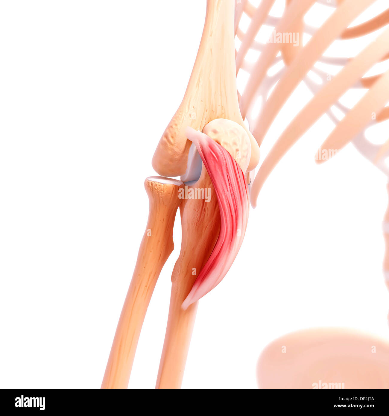 Anconeus Muscle Stock Photos & Anconeus Muscle Stock Images - Alamy