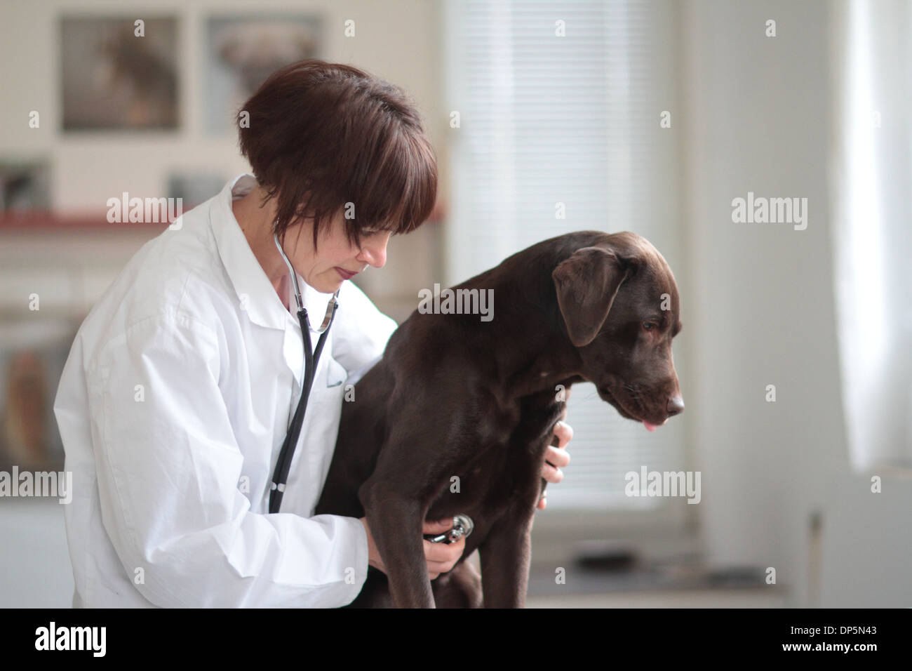 a veterinary woman middle age Caucasian examines a dog middle high in a surgery for pets - Stock Image