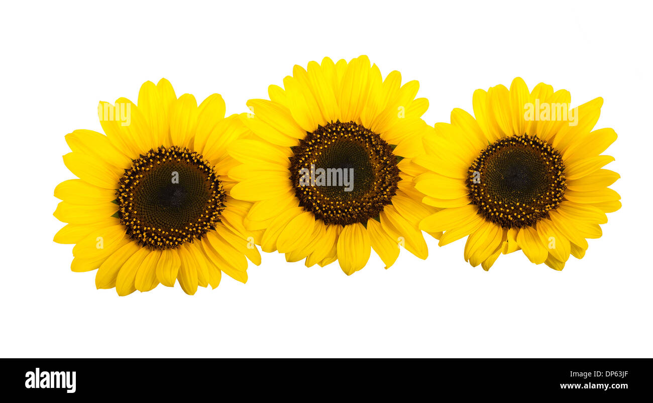 Three sunflowers isolated on white background - Stock Image