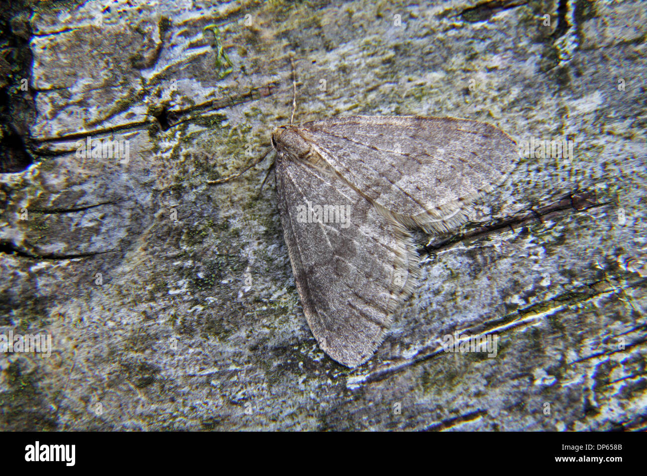 Northern winter moth at rest - Stock Image