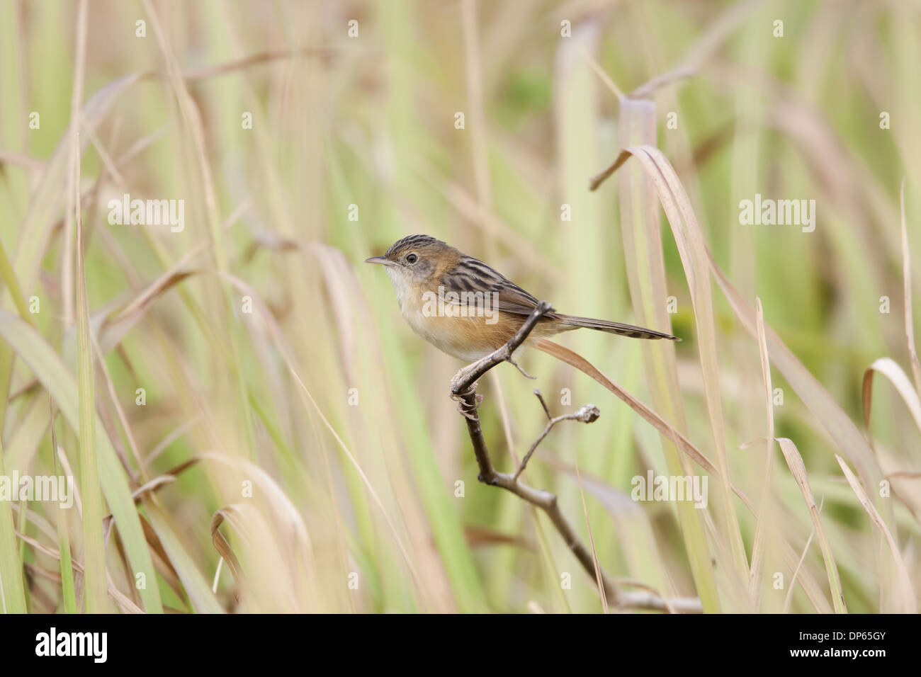 Golden-headed Cisticola (Cisticola exilis) adult, non-breeding plumage, perched on twig, Hong Kong, China, February - Stock Image