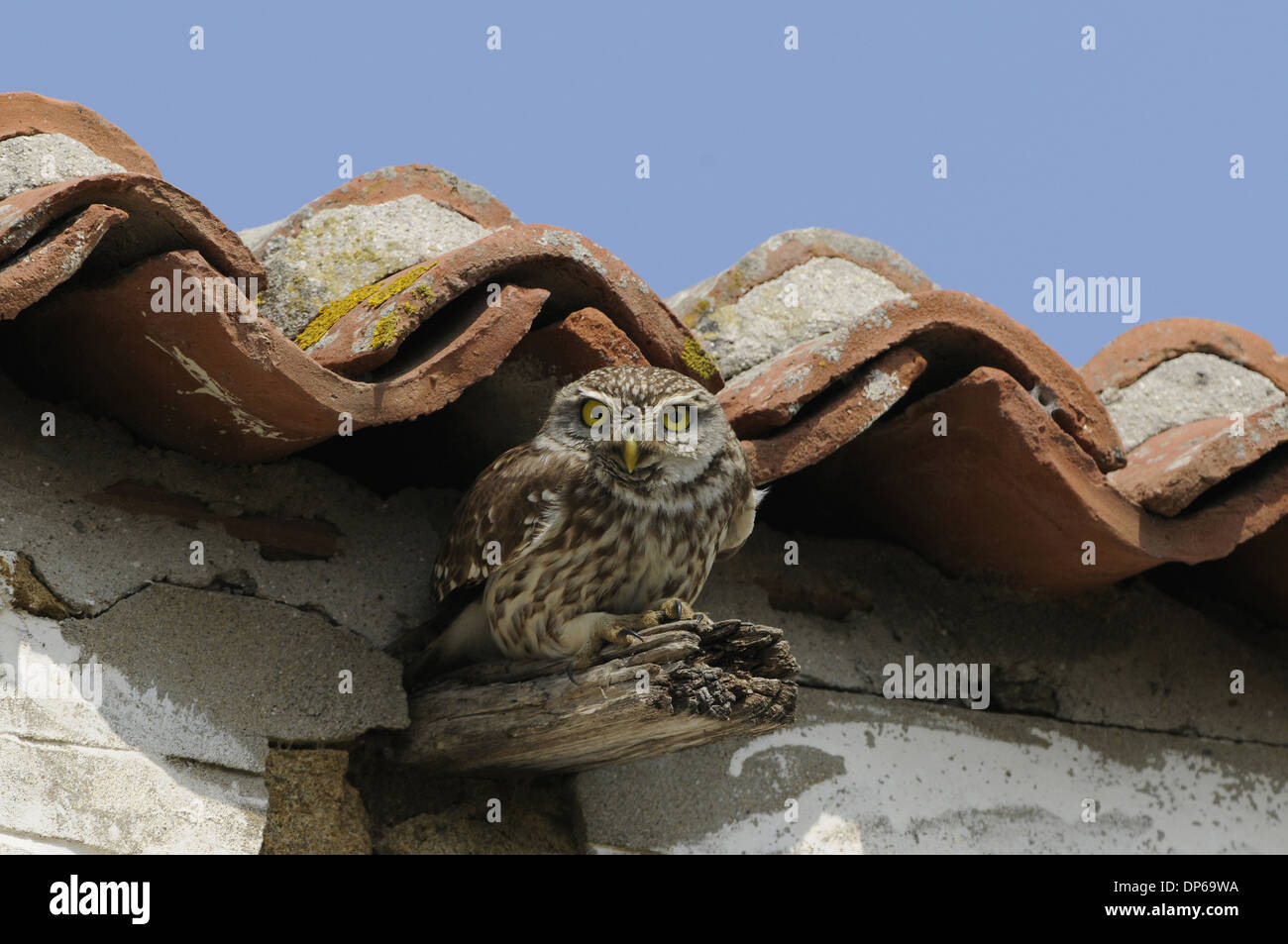 Little Owl (Athene noctua) adult, in alert posture, perched on beam of building, Lemnos, Greece, April - Stock Image