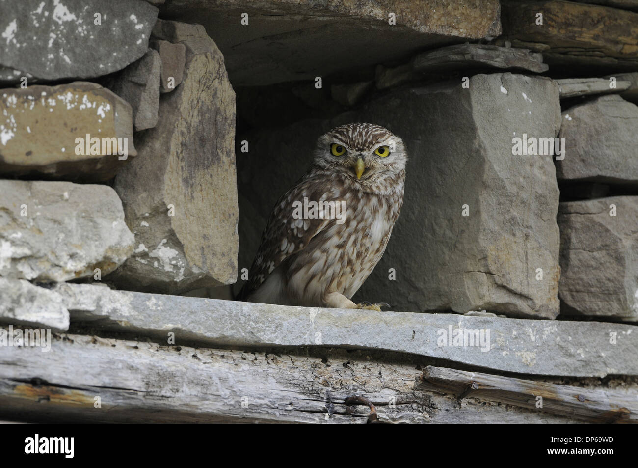 Little Owl (Athene noctua) adult, roosting in old stone building, Lemnos, Greece, May - Stock Image