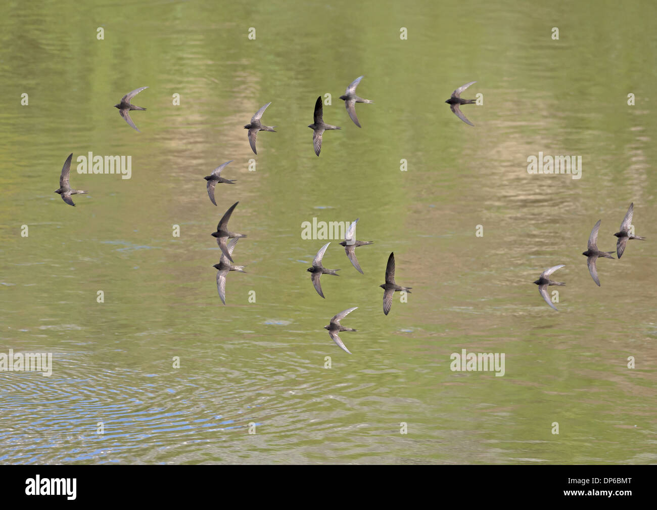 Common Swift (Apus apus) sixteen adults, flock in flight over water, Castilla y Leon, Spain, June - Stock Image