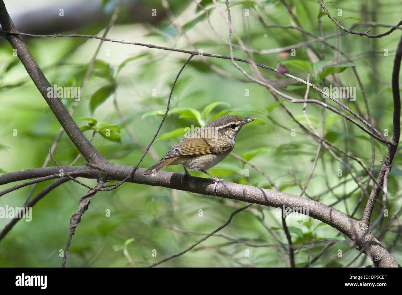Pale-legged Leaf-warbler (Phylloscopus tenellipes) adult breeding plumage perched on branch Tai Po Kau New Territories Stock Photo