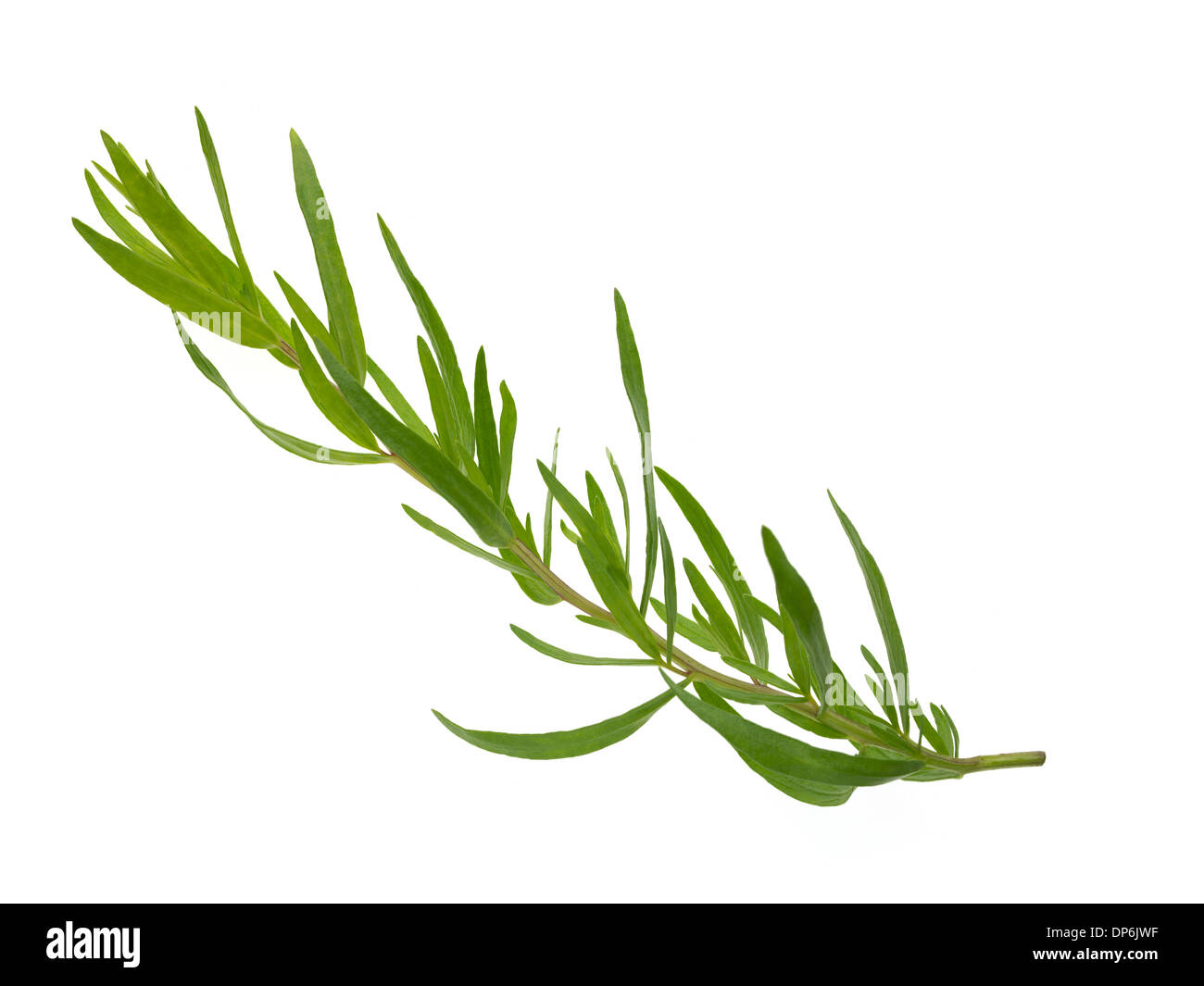 fresh herbs tarragon - Stock Image