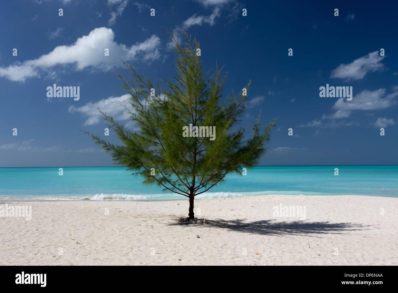 Lone tree on Jolly Beach, Antigua, Leeward Islands West Indies - Stock Image