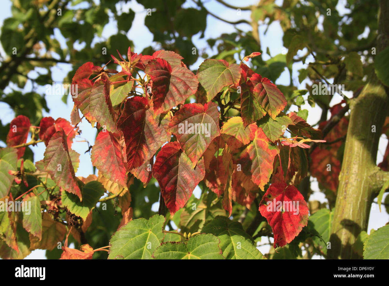 Pere Davids Maple Acer Davidii Close Up Of Leaves In Autumn Stock
