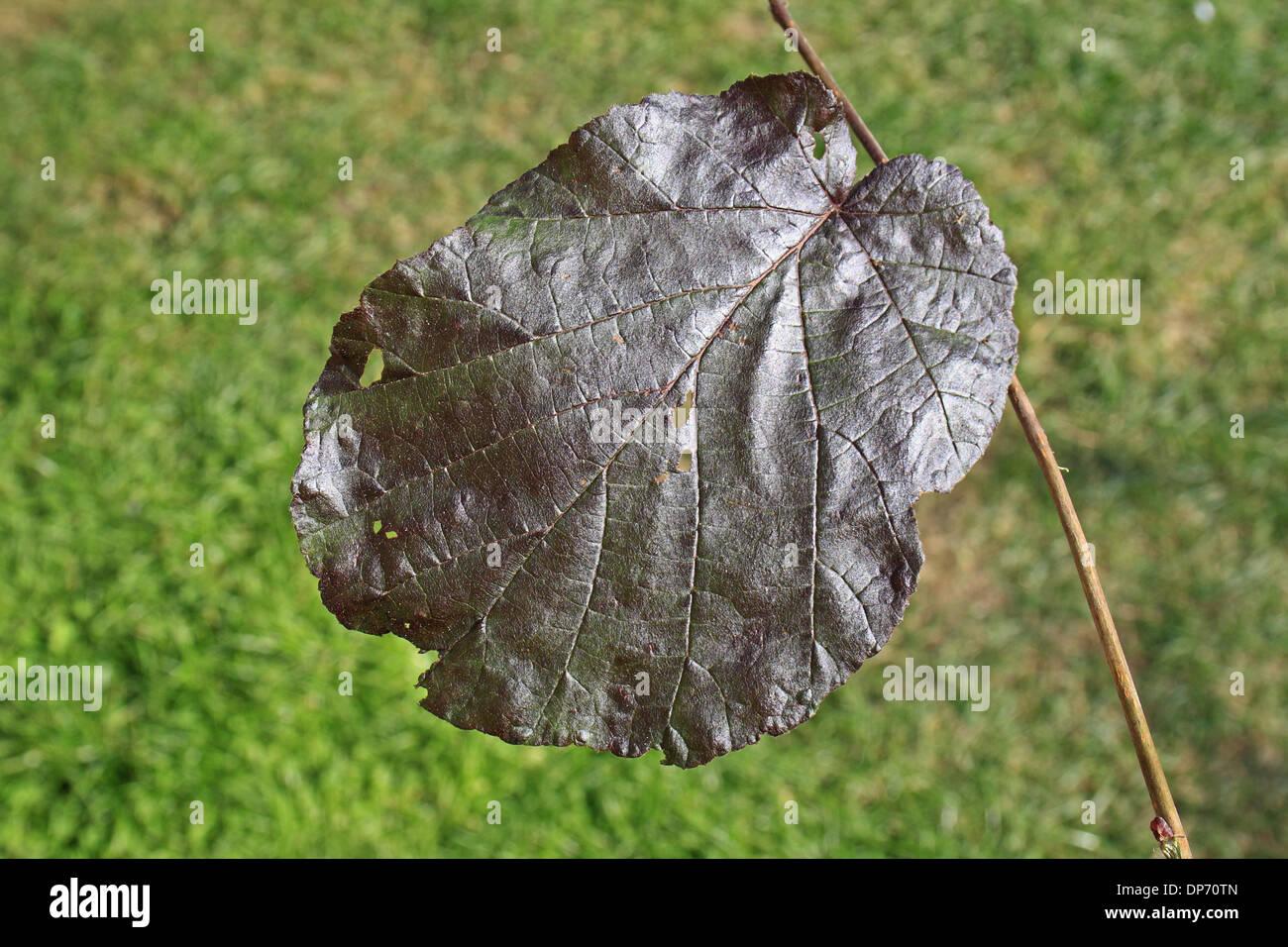 Filbert (Corylus maxima) 'Purpurea', close-up of leaf, in garden, Suffolk, England, August - Stock Image