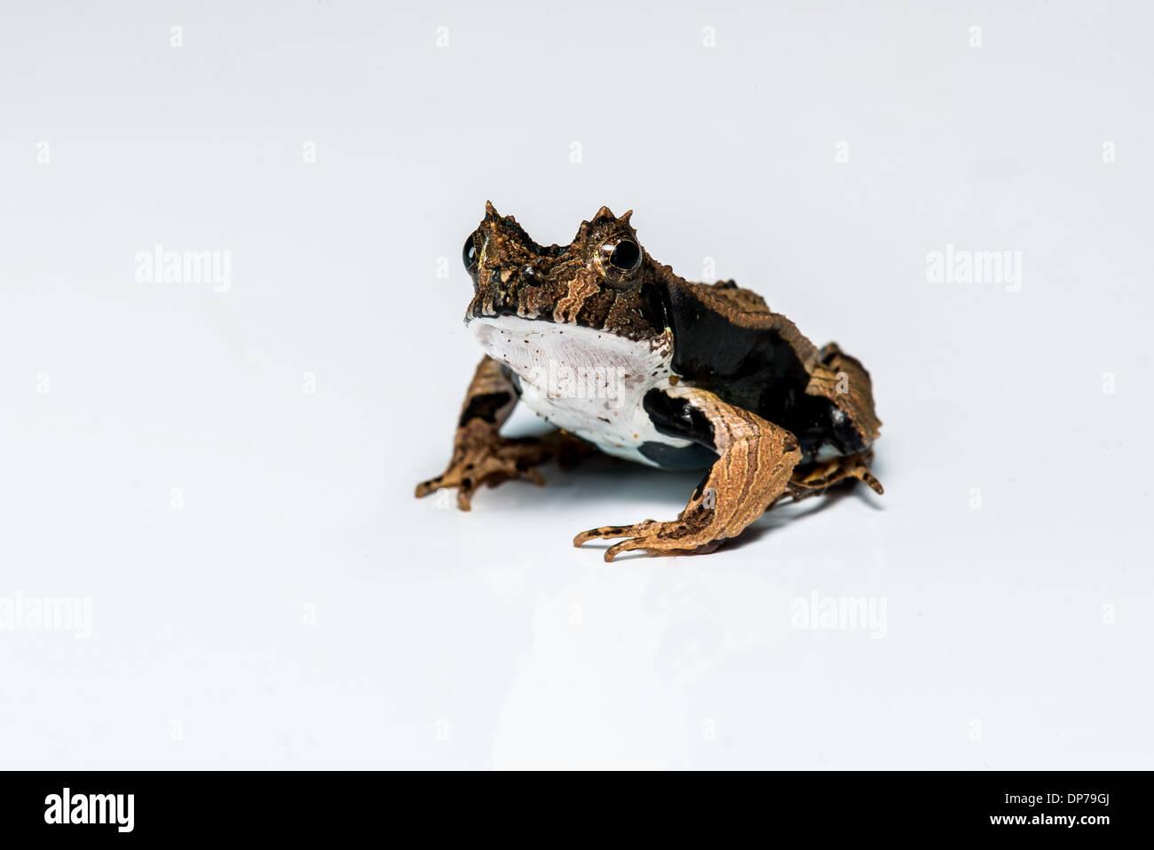 A whiteout stock photo of an Eyelash Frog (Edalorhina perezi) from the Ecuadorian Amazon - Stock Image