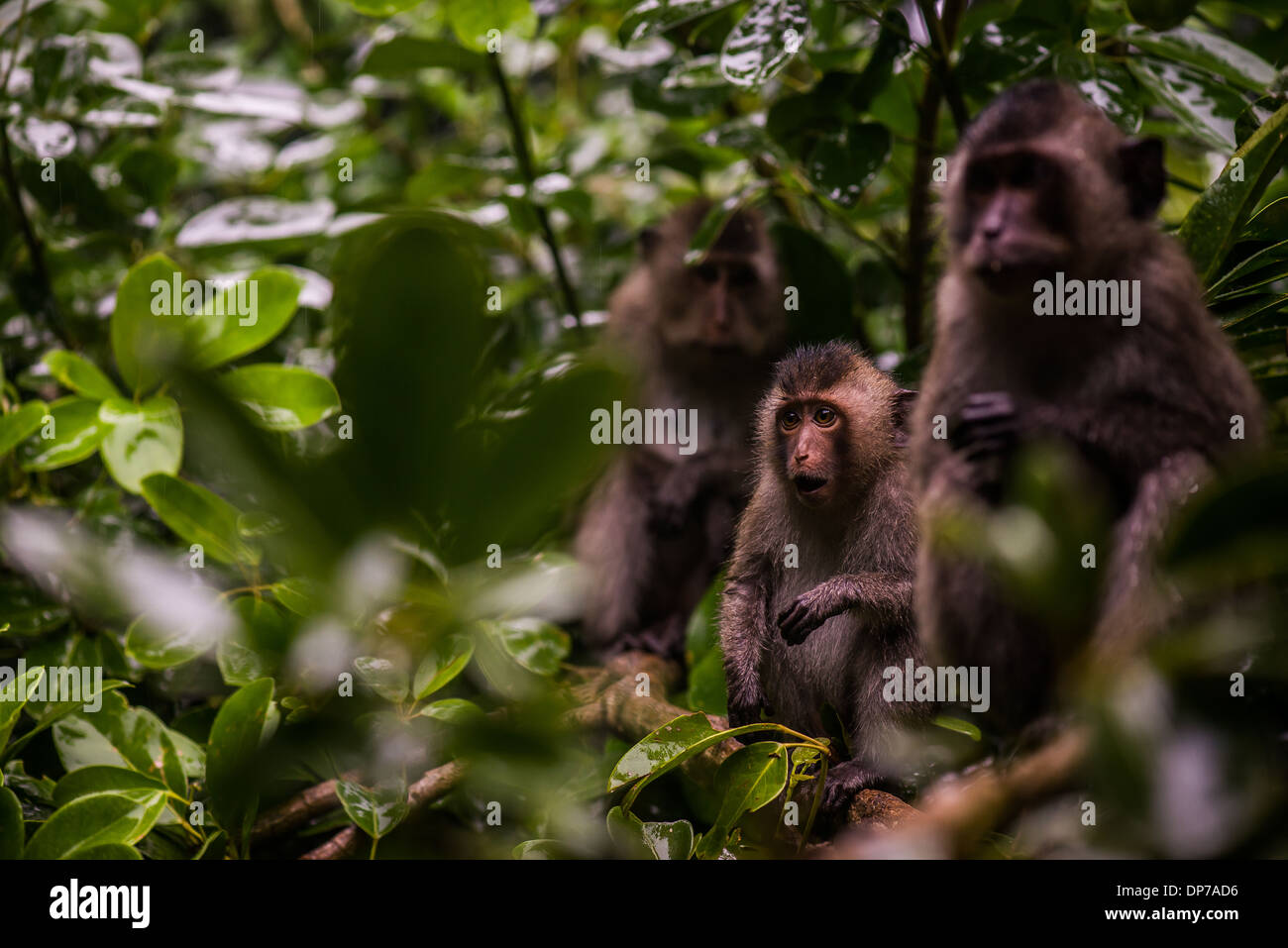 An adorable baby Con Son Long-tailed Macaque calling out for some food on Con Dao, Vietnam - Stock Image