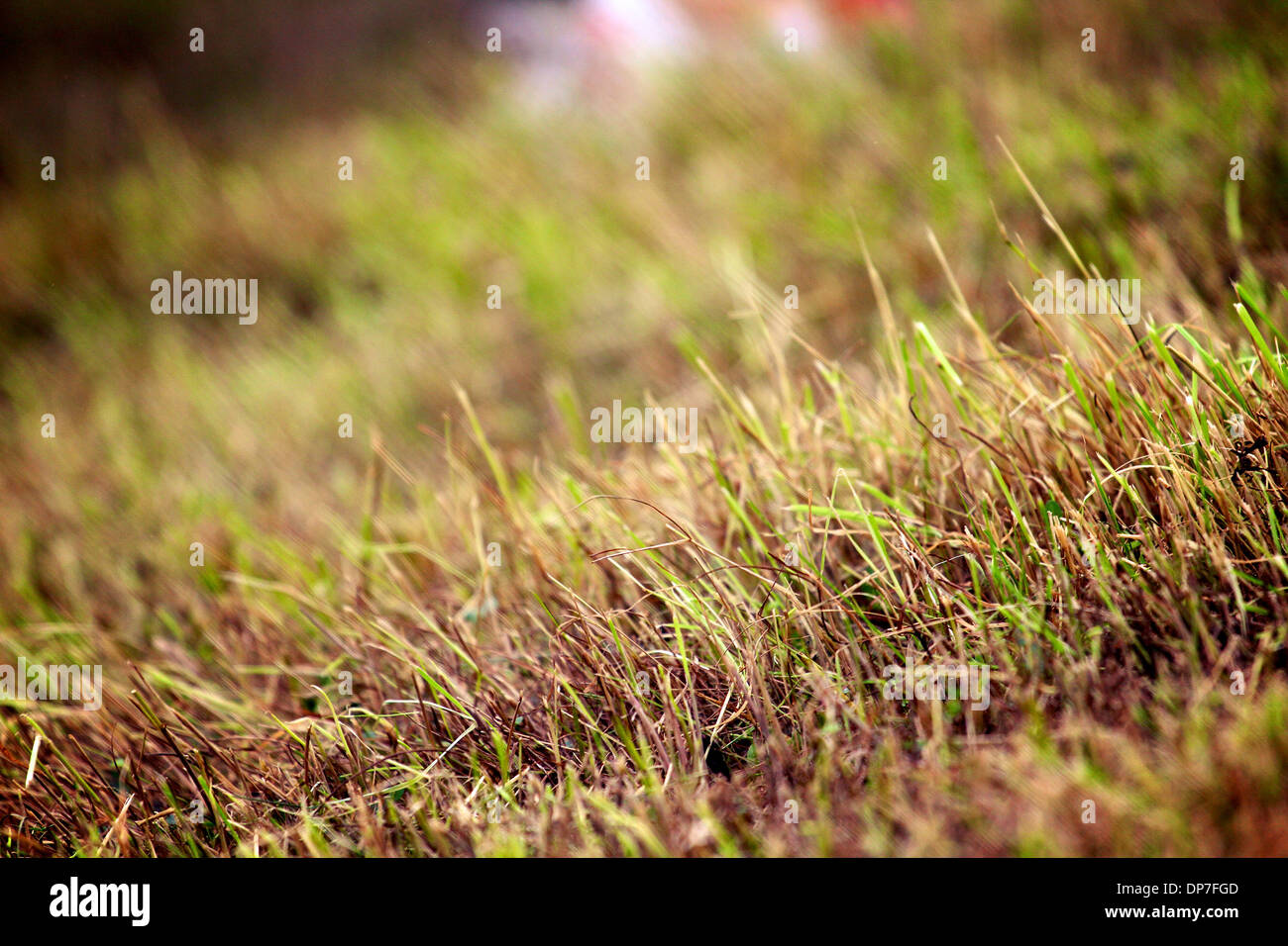 Sun burnt and dried / dead grass following dry period of no rain - Stock Image