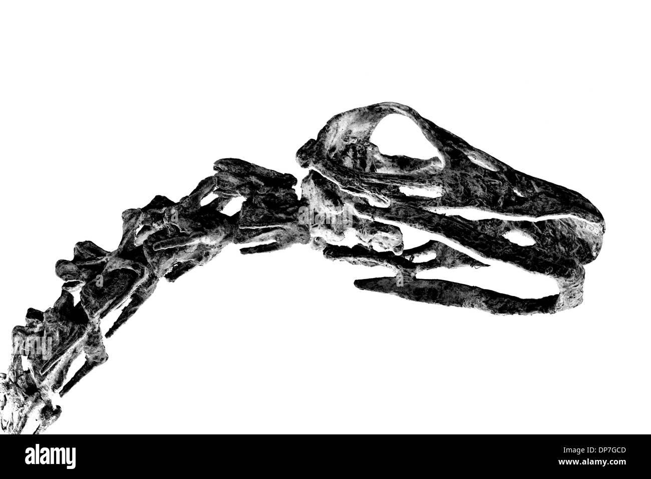 Fossilized dinosaur bones isolated on a white background - Stock Image