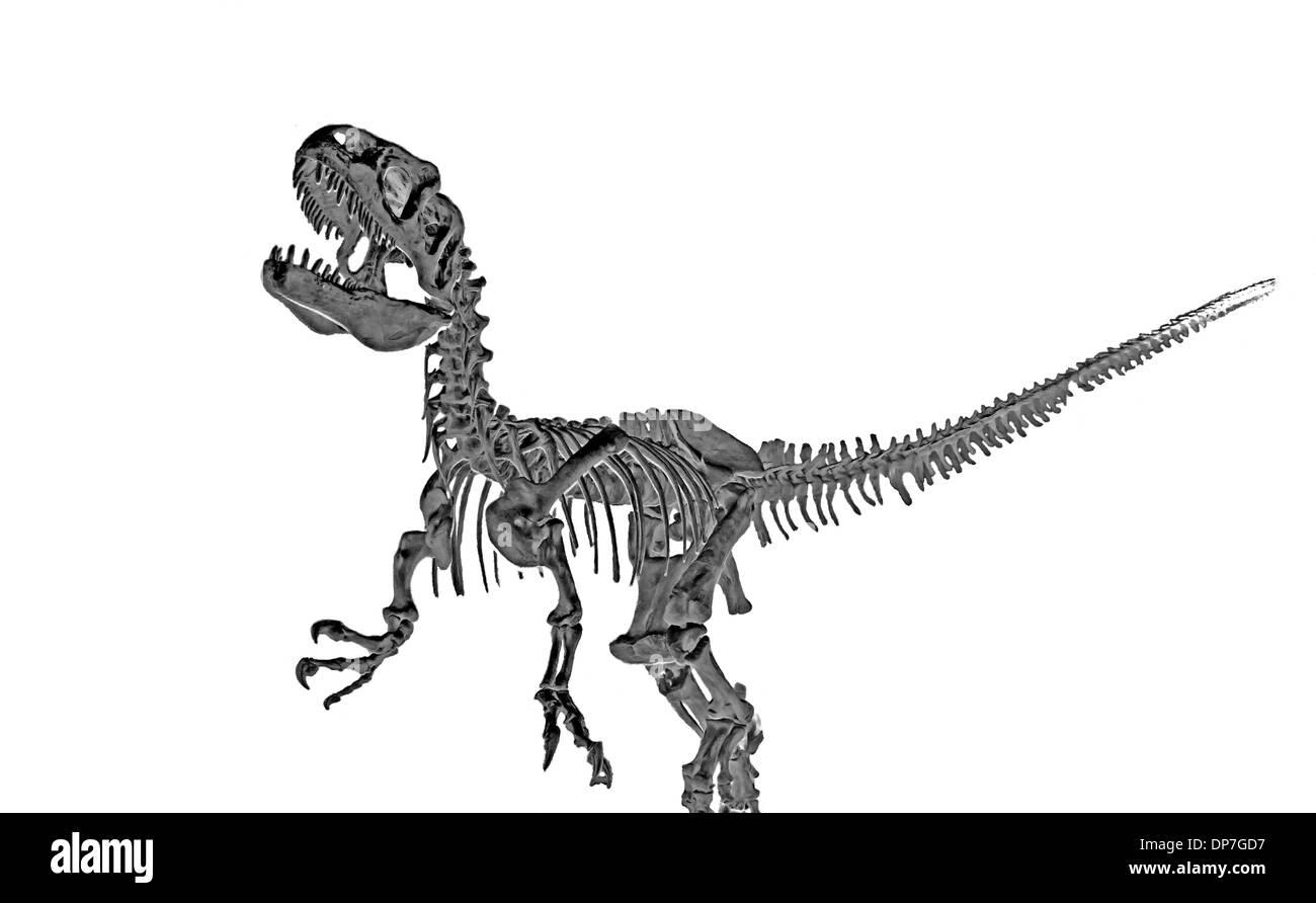 Fossilized skeleton of a Tyrannosaurus rex dinosaur isolated on a white background. - Stock Image