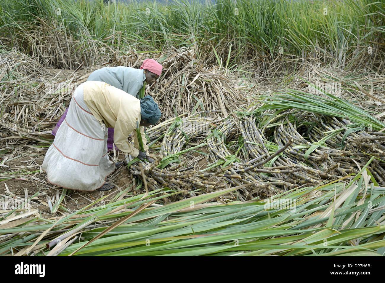 Sugarcane (Saccharum officinarum) crop, women workers bundling cut stems, Marayur, Idukki District, Kerala, India, December - Stock Image
