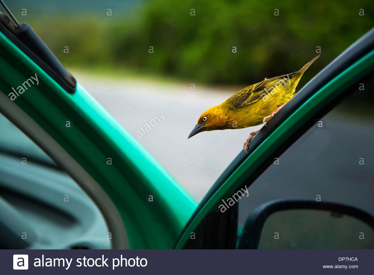 A beautiful Spectacled Weaver sitting on a car door - Stock Image
