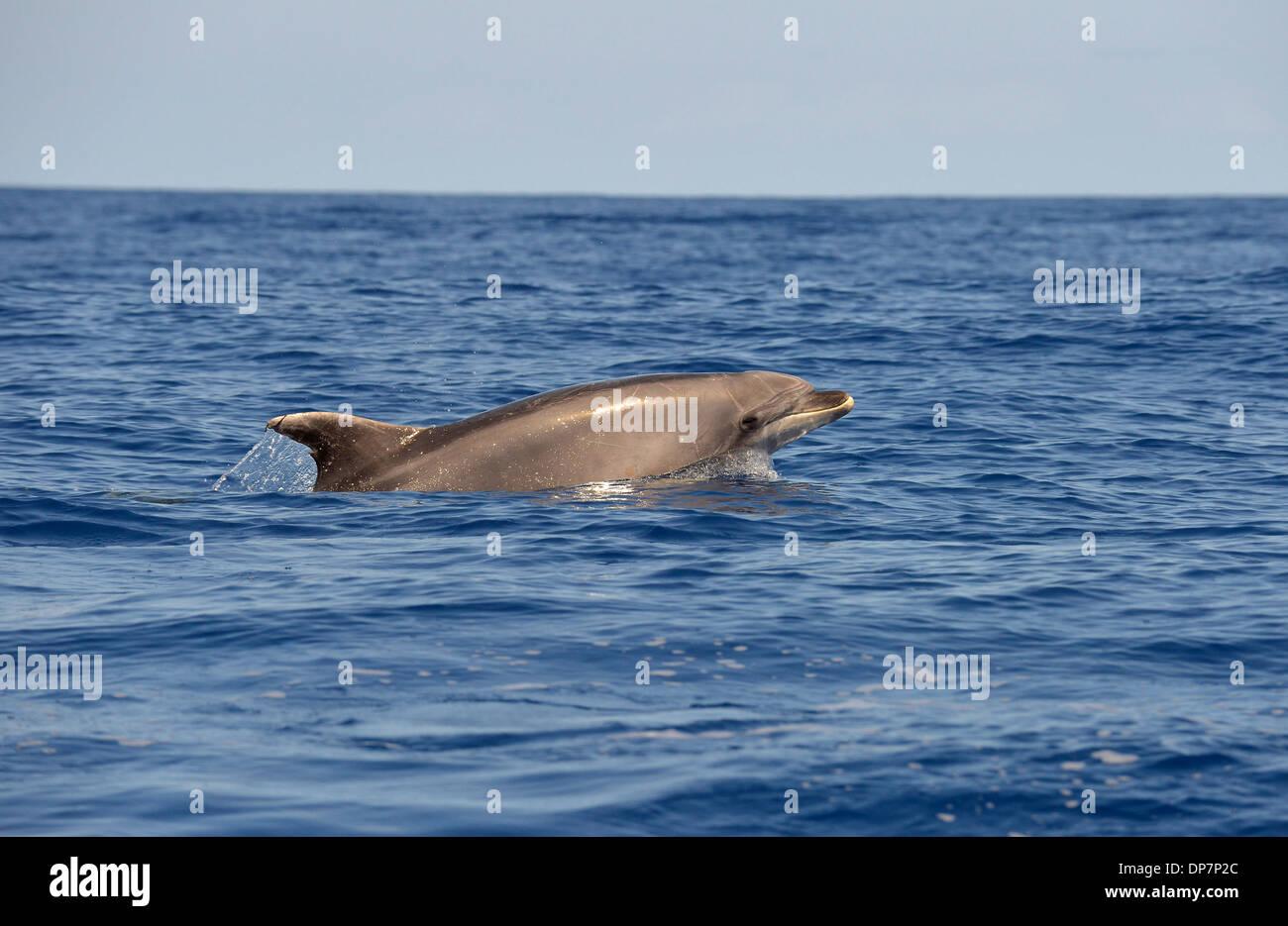 Common Bottlenose Dolphin (Tursiops truncatus) adult, porpoising, Azores, June Stock Photo
