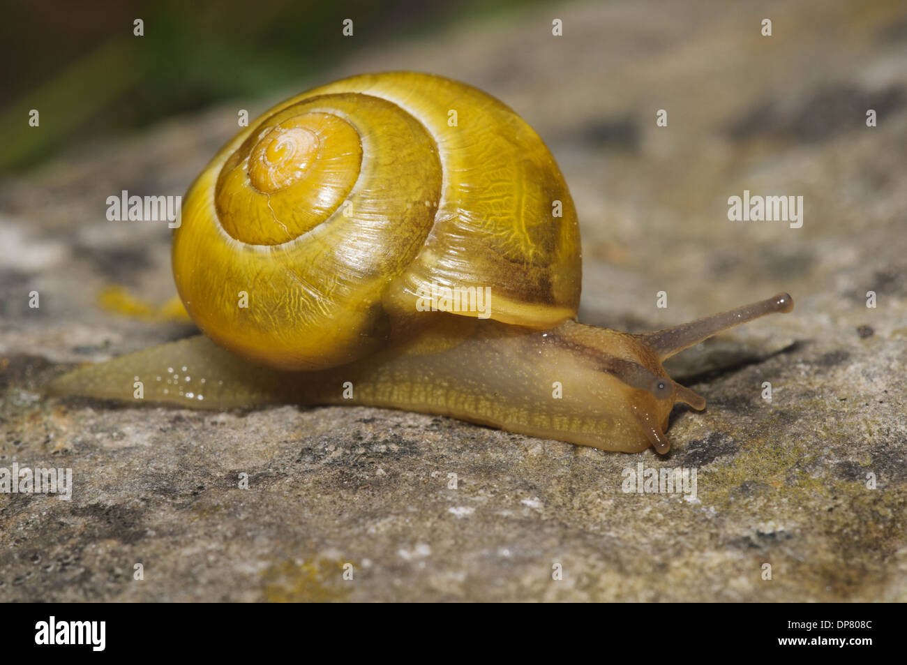 White-lipped Banded Snail (Cepaea hortensis) yellow form adult crawling over rock South Stack Cliffs RSPB Reserve Stock Photo