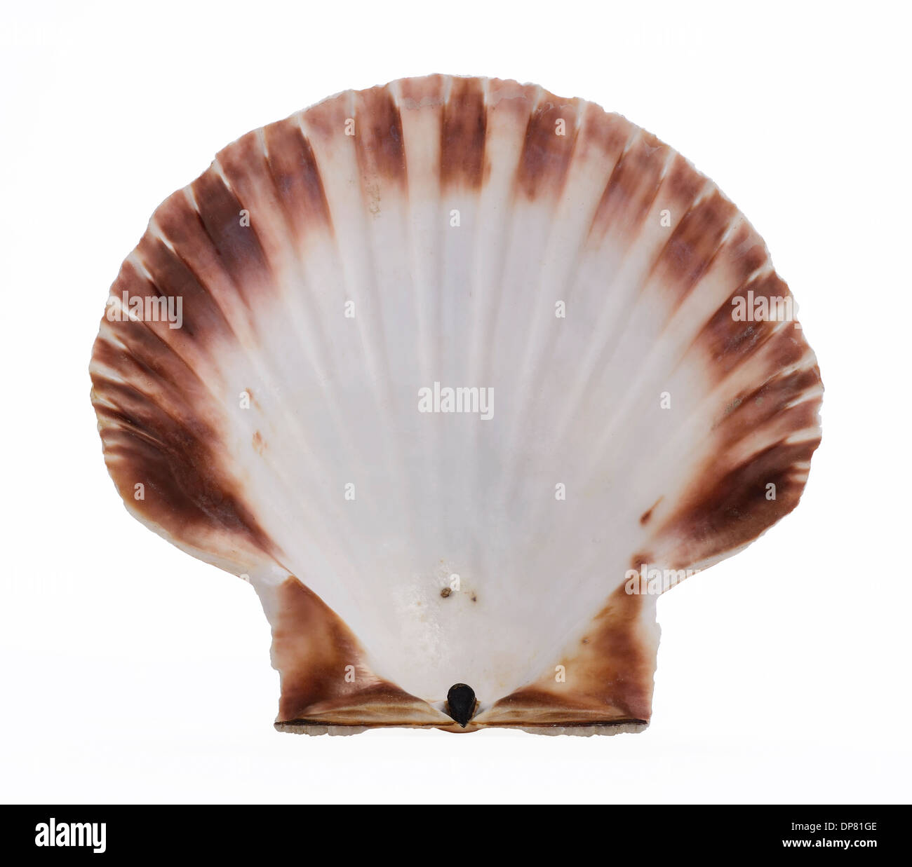 Inner side of a scallop shell - Stock Image