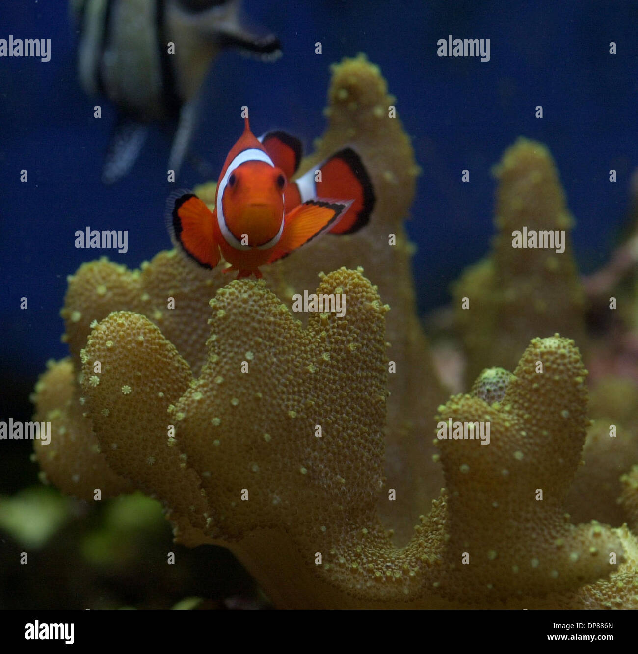 (Published 06/25/2003, A-1; SignOn Gallery: 06/30/2003): Small anemone clown fish swim among the coral in tanks in the educational rooms at Birch Aquarium at Scripps Institute of Oceanography Tuesday. The movie Finding - Stock Image