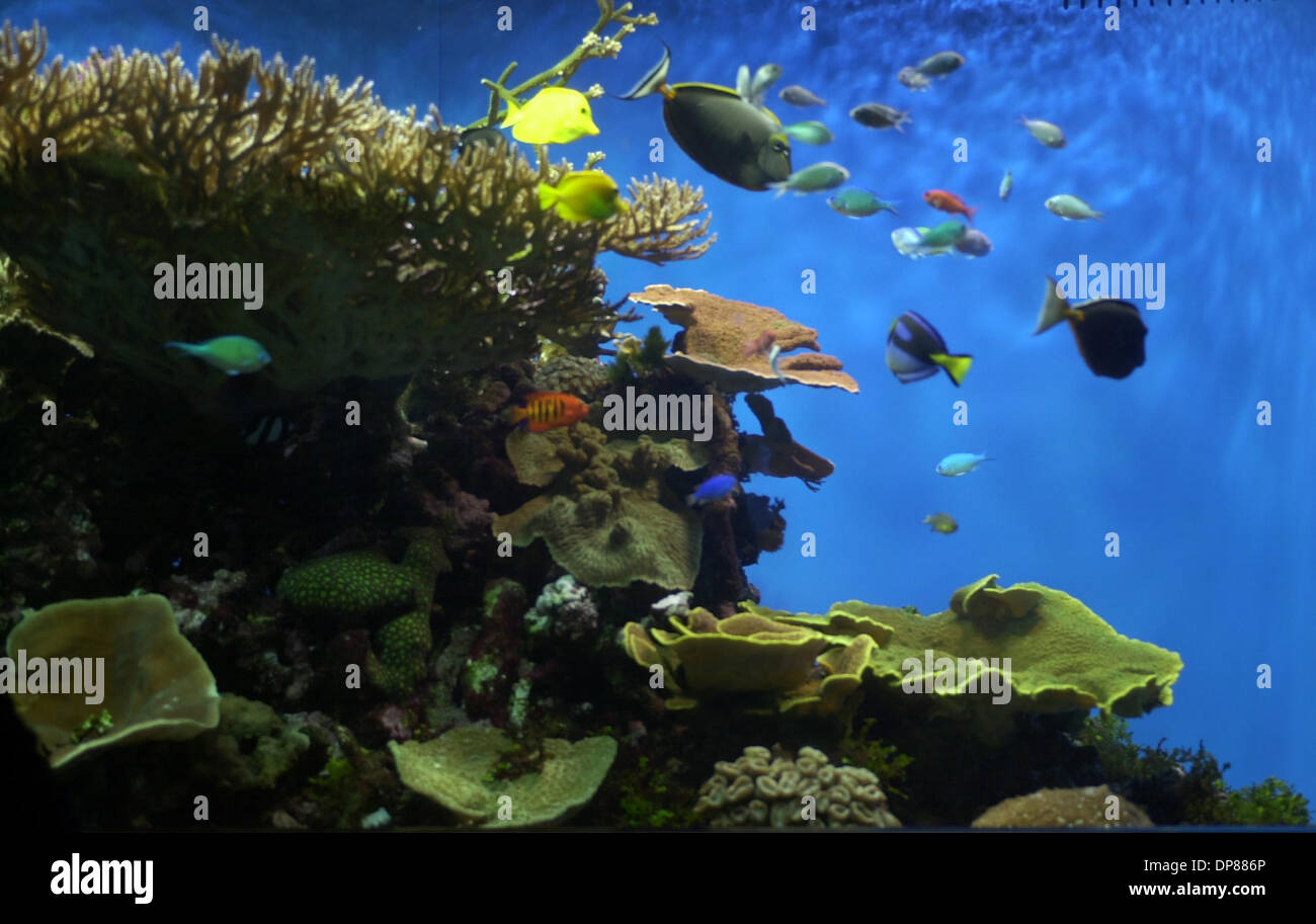 (Published 06/25/2003, A-12): The Living Coral exhibit at Birch Aquarium at Scripps Institute of Oceanography is a popular spot for visitors and is accompanied by educational text and video explaining the fragility of coral ecosystems. Peggy Peattie photo - Stock Image